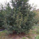 红豆杉15公分多少钱 15公分红豆杉价格