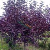 紫叶稠李五年树苗