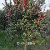 12公分鸿运果大树