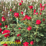 卡罗拉玫瑰种苗