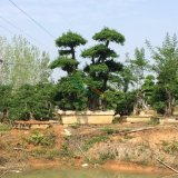 一体对节白蜡造型树