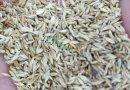 早熟禾净籽种子