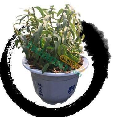 鐵皮石斛盆栽