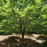10公分鸡爪槭