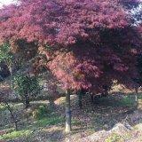 8公分红羽毛枫