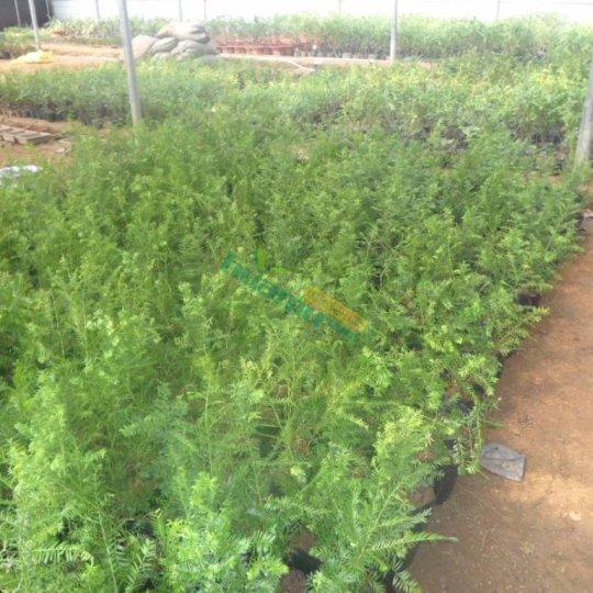 1米红豆杉