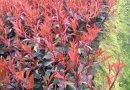 红花继木桩价格 福建红花继木桩头批发 红花继木桩报价