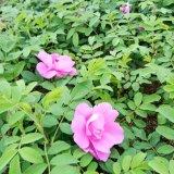 四季玫瑰营养杯苗