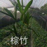 35公分高棕竹