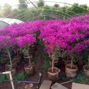 高度60公分四季紫色三角梅云南基地批发