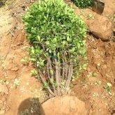 冠幅2米大叶黄杨球,大叶黄杨苗、江苏大叶黄杨