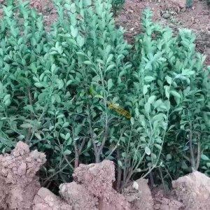 15公分大叶黄杨苗