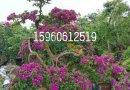 3米高优质凤凰木