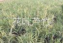 高度40-50公分花叶芦竹