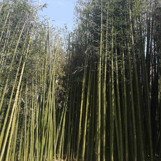 米徑1~5公分毛竹