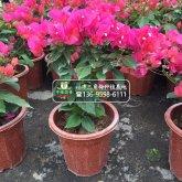 矮化盆栽三角梅