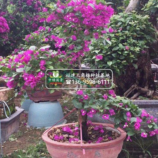 小盆景紫花三角梅