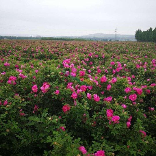 綠化玫瑰用苗中天四季玫瑰食用玫瑰(兩年)