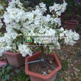 花叶白花三角梅