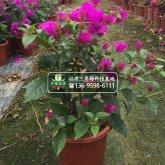云南紫色三角梅