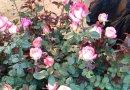 基地直发大批量菊花种苗