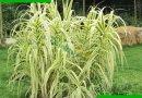 水生花卉水培植物彩叶斑叶金叶花叶芦苇芦竹池塘绿化