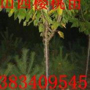 3公分-5公分樱桃树