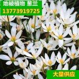 观花球根植物花卉 葱兰花种球根花苗 葱兰 韭兰 风雨兰苗