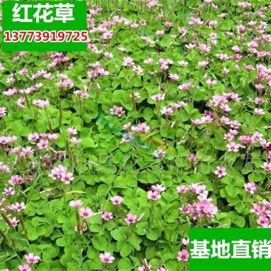 紅花草盆栽花卉三葉草苗子多年生庭院地被花