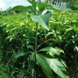 苔农芒果苗