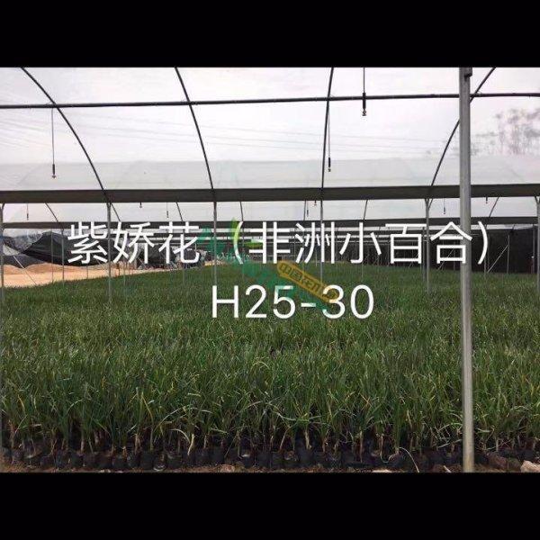 高25公分紫娇花 非洲小百合 地被小苗产地直销