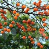 各规格柿树