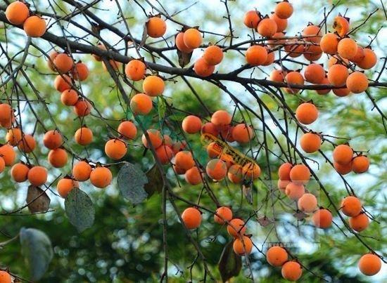 各規格柿樹