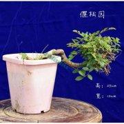 榆树盆景微型盆栽