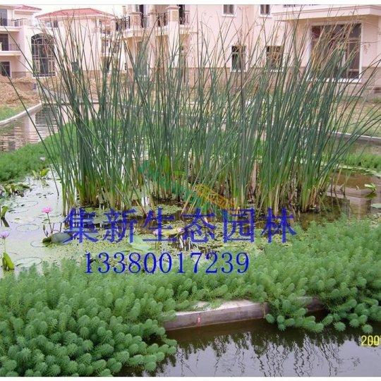 水葱30-50公分,基地直销,批发价格,广东水生植物观赏草基地供货