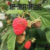 红树莓苗 树莓苗 红树莓鲜果 树莓速冻果