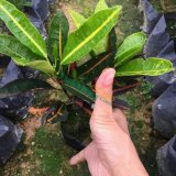 20-25公分高变叶木