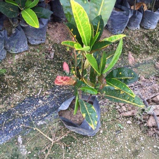 高20-25公分变叶木
