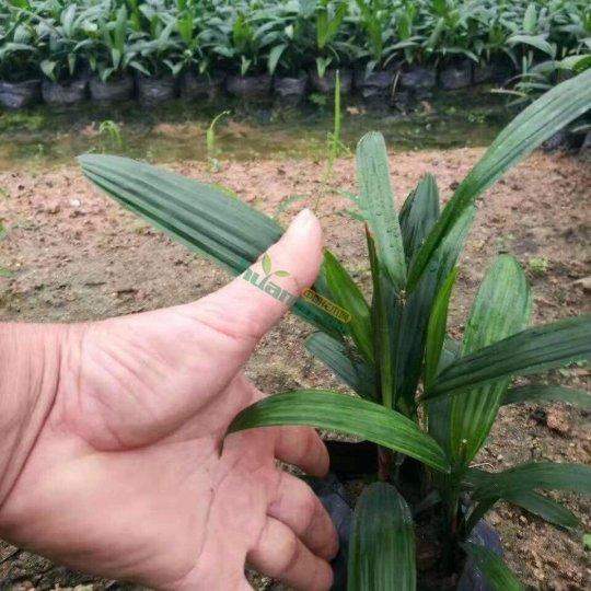 高30公分棕竹 棕竹价格