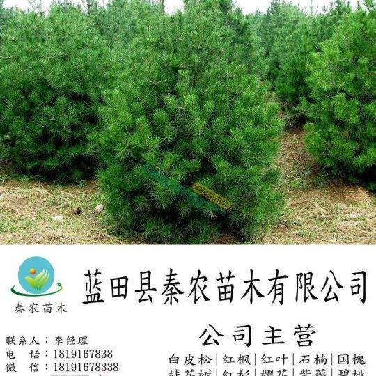 4米綠化一級貨華山松現貨銷售 華山松銷售 藍田縣秦農苗木