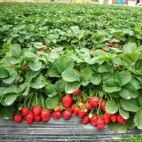 基地直销甜查理草莓苗