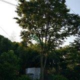53年榉树