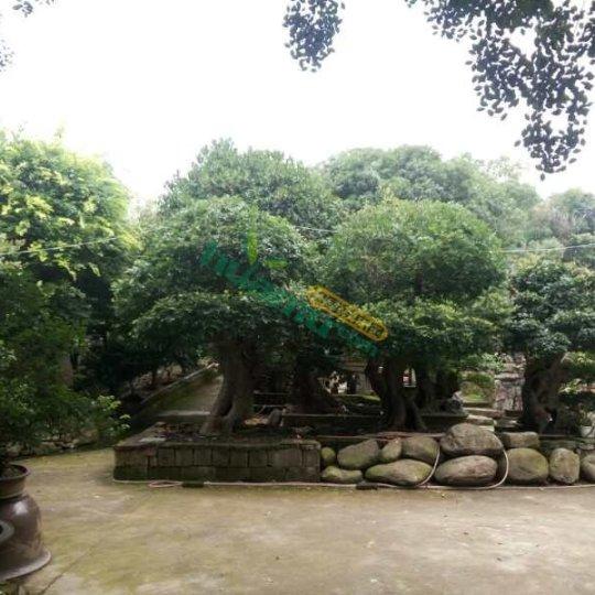 百年榉树大盆景