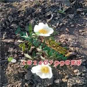 白芍苗 赤芍種子