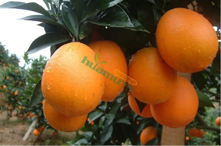 纽荷尔脐橙苗