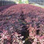 红花继木地栽
