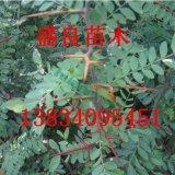 山西药用皂角树苗