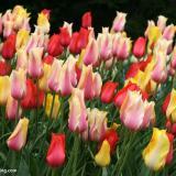荷兰进口郁金香种球