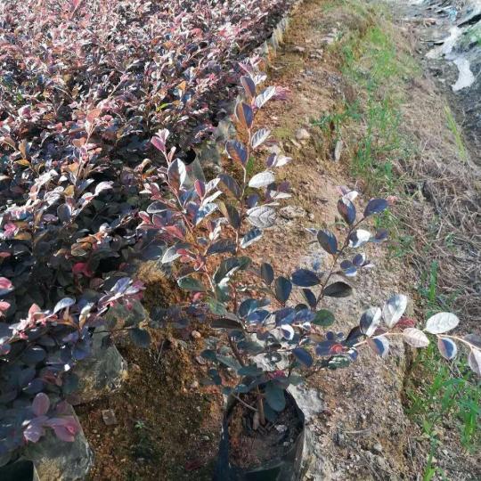 25-30公分高红花继木 福建漳州大量地被供货