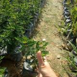 高25公分胡椒木